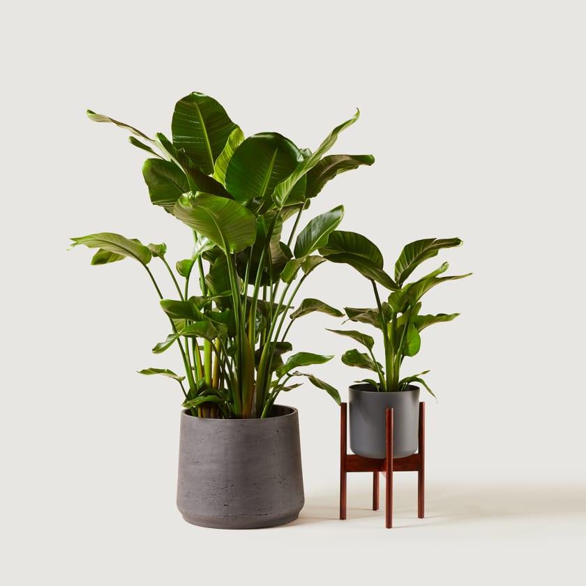 STRELITZIA-19,35 Plant stand 22cm