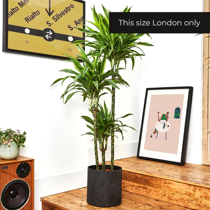 Dracaena Fragrans Yellow Stripe 150-160cm