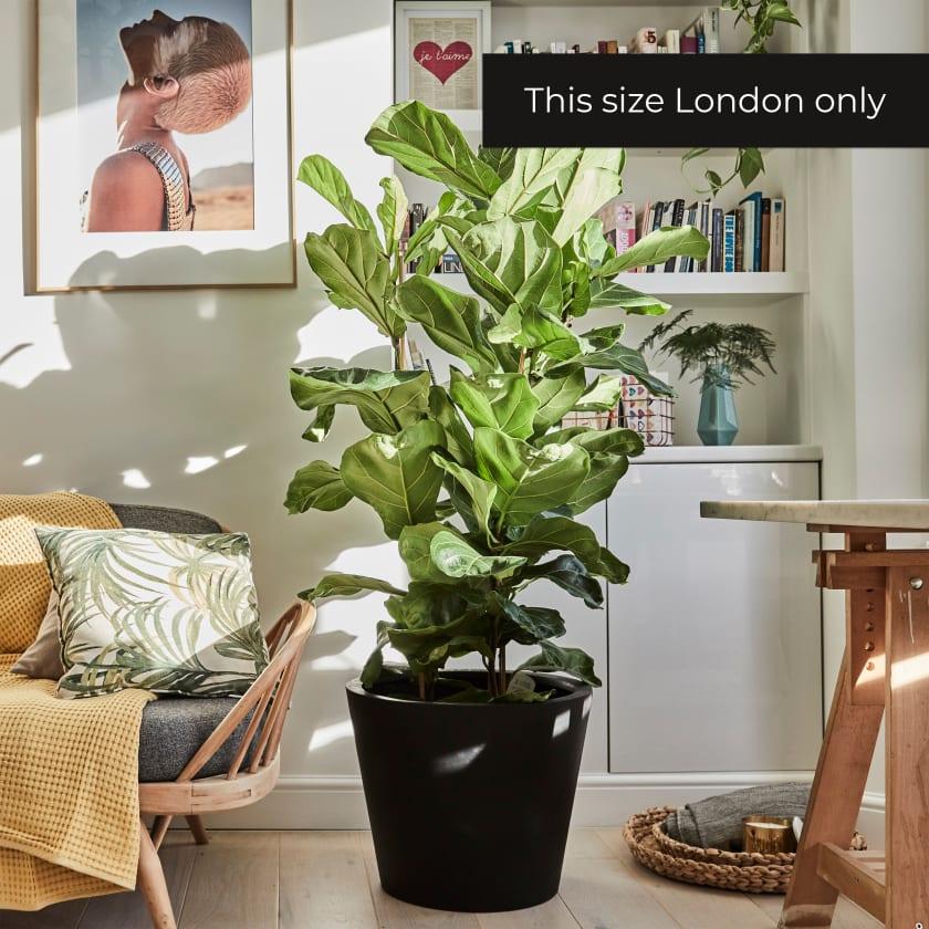 Fiddle Leaf Fig Tree Banjo Fig Indoor Plants In London