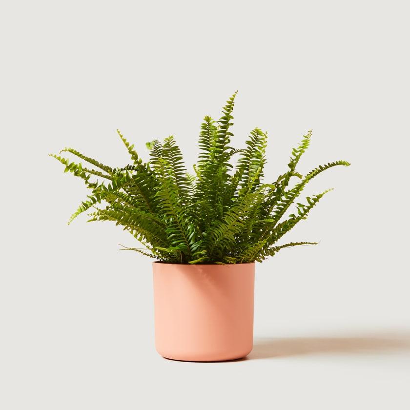 16cm pink studio w/plant