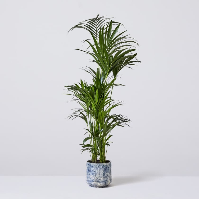 Kentia Palm 190-200cm
