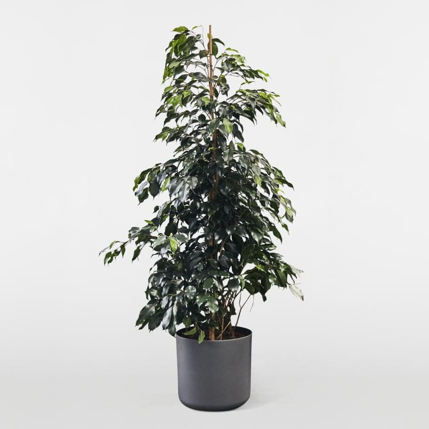 Weeping Fig 140cm