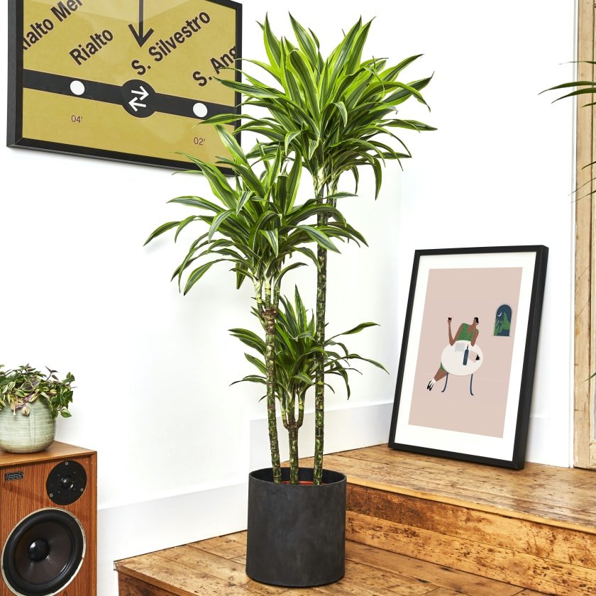 Dracaena Fragrans Yellow Stripe 150-160cm