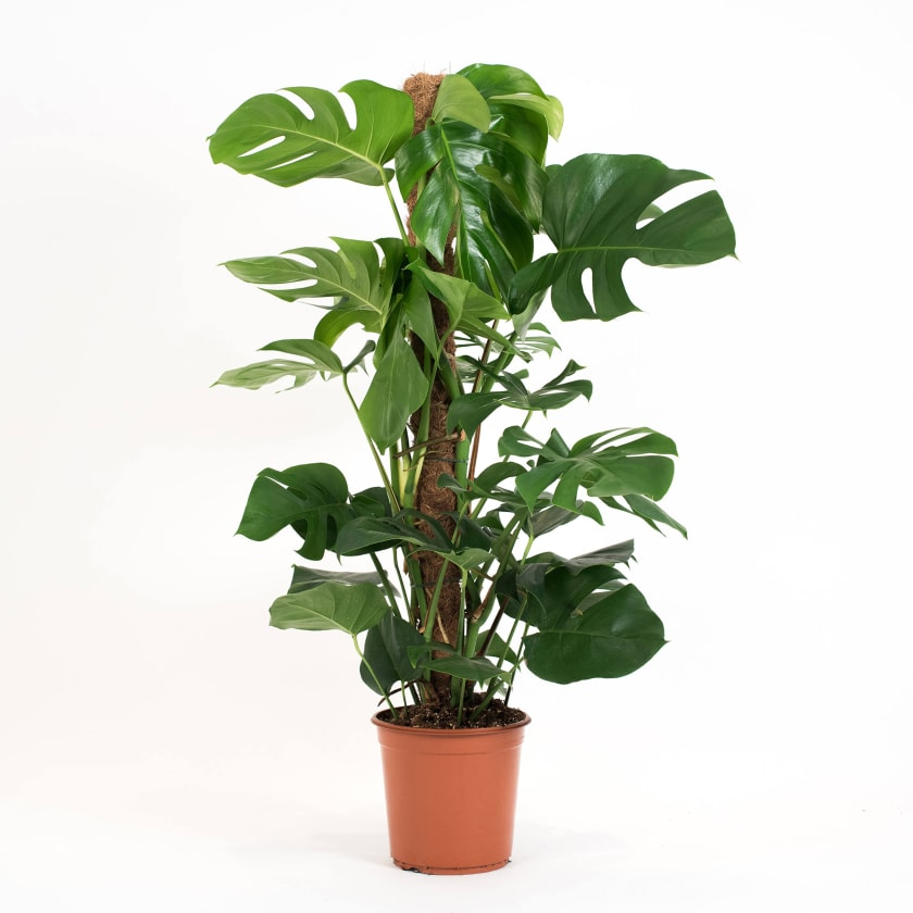 Monstera moss pole
