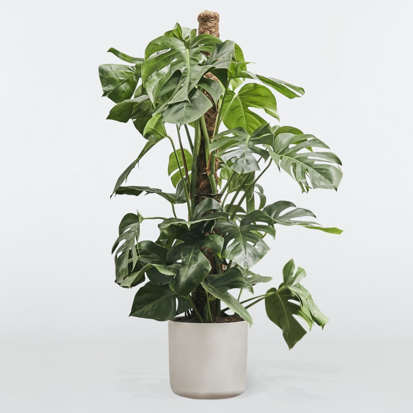 Large Monstera Deliciosa - Cheese plant