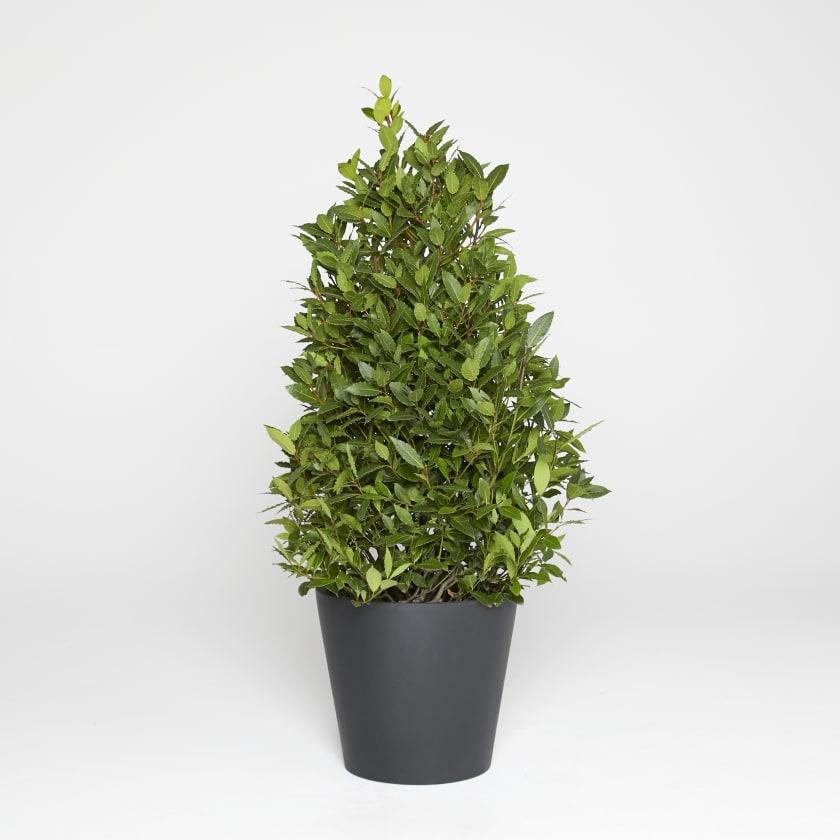 Bay Tree Plants Patch