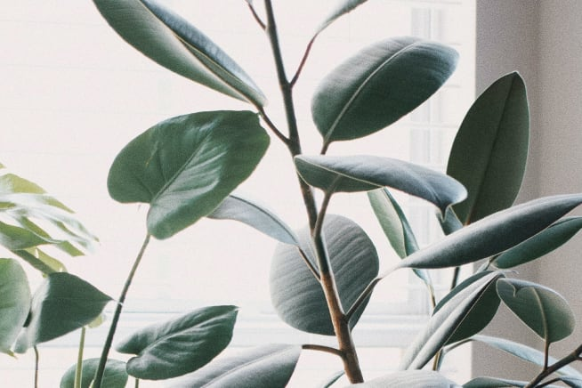 Close up of a rubber leaf plants leaves