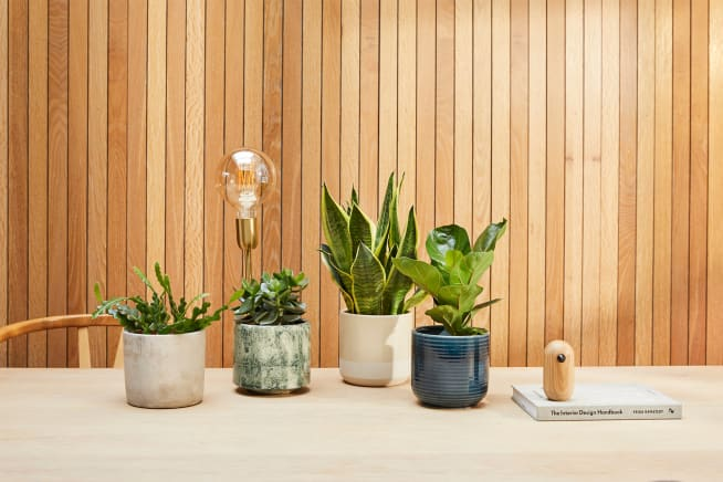 Zig zag cactus in a light grey concrete pot, green succulent in a green fractured pot, snake plant in a light grey concrete pot and small fidle leaf fig plant in a navy blue ceramic pot grouped together, on top of a table top.