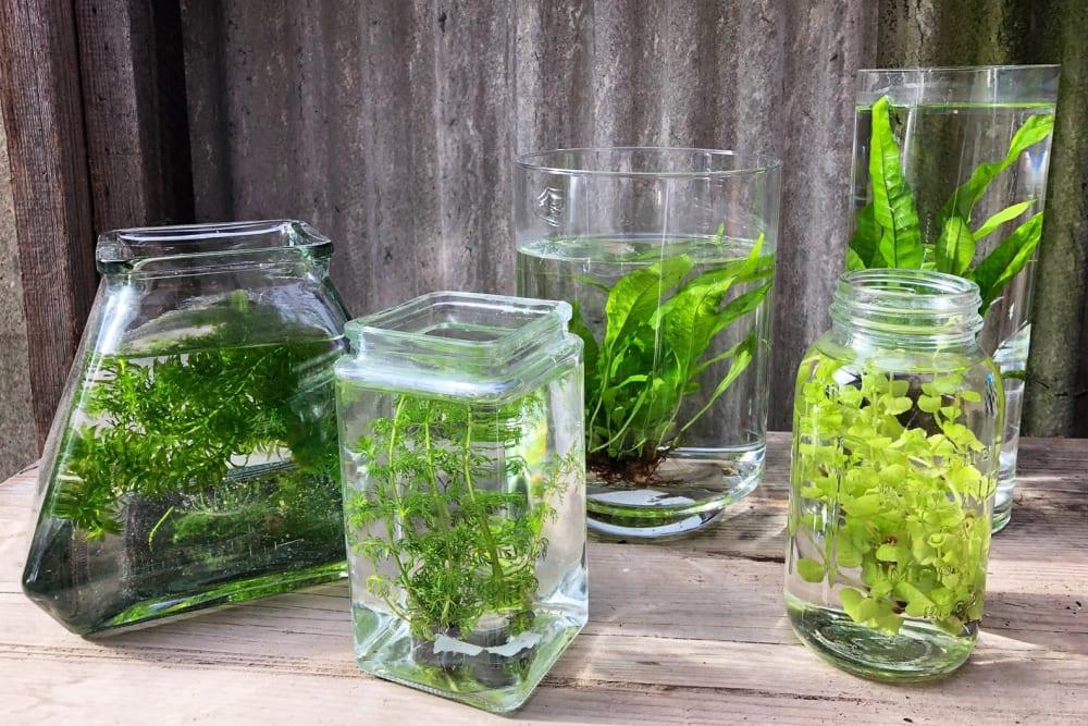 Aquatic plants in glass jars