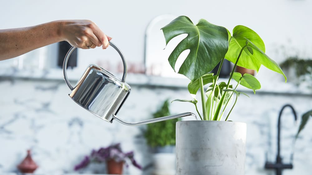 Close-up of person watering a monstera in a concrete pot with a metal watering can