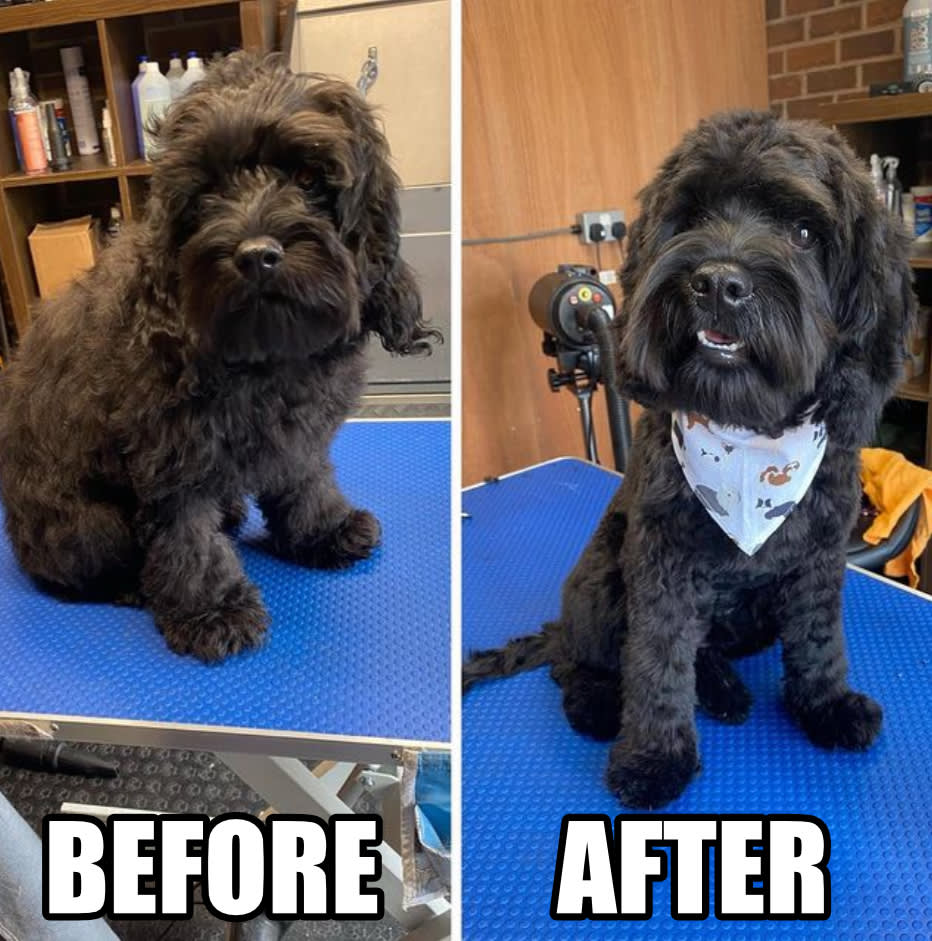 A photo of Fred showing before he was clipped as a fluffy mess and after as a neatly trimmed pup