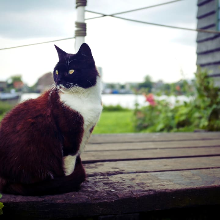 Dark brown and white cat sitting upon a wooden deck near water.