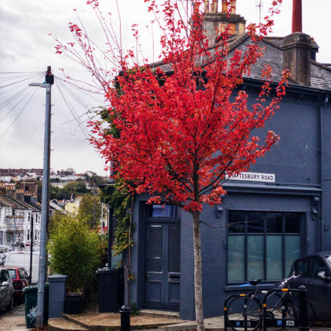 Tree with bright red leaves on the corner of a residential street.