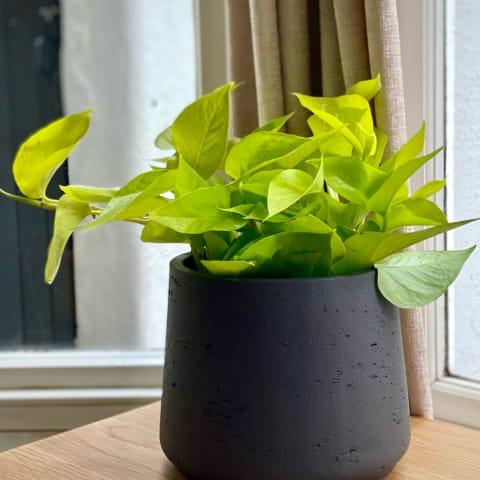Neon green plant in a dark grey pot sat on a wooden desk.
