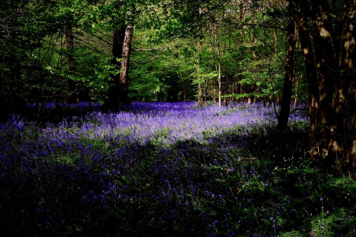 Bluebell covered forest floor