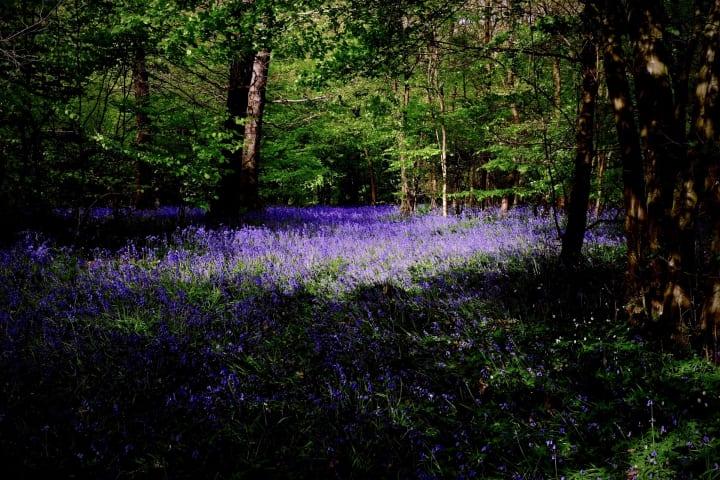 Bluebell covered forest floor.