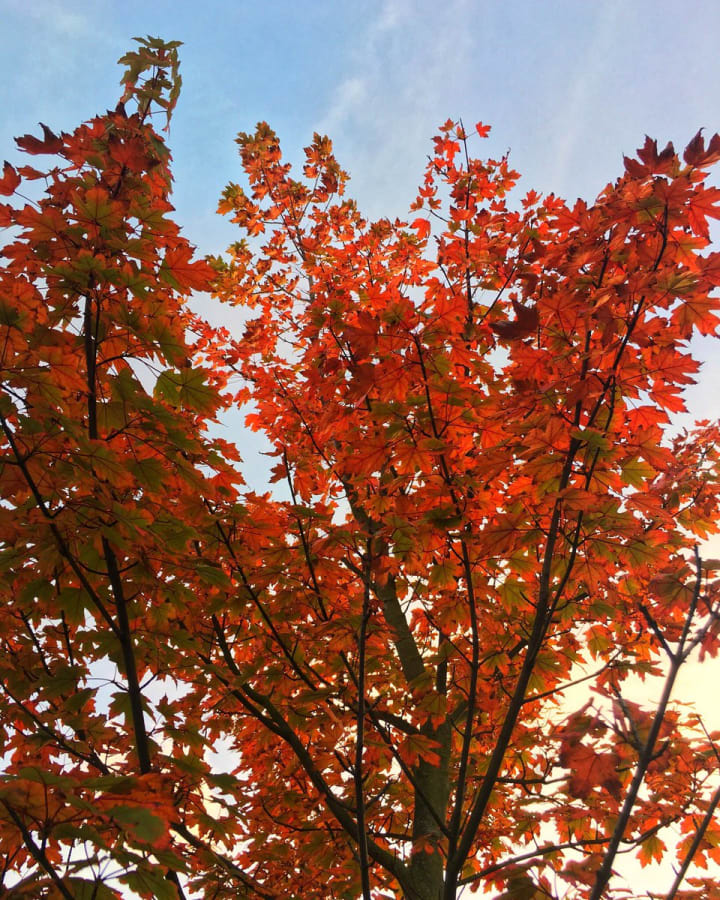 Bright red leaves on a tree.