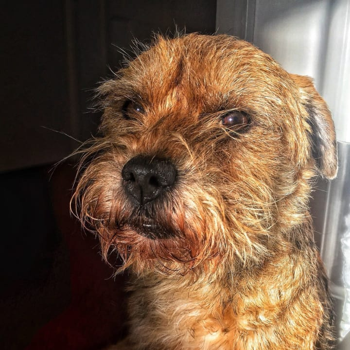 Teazle, my parent's border terrier.