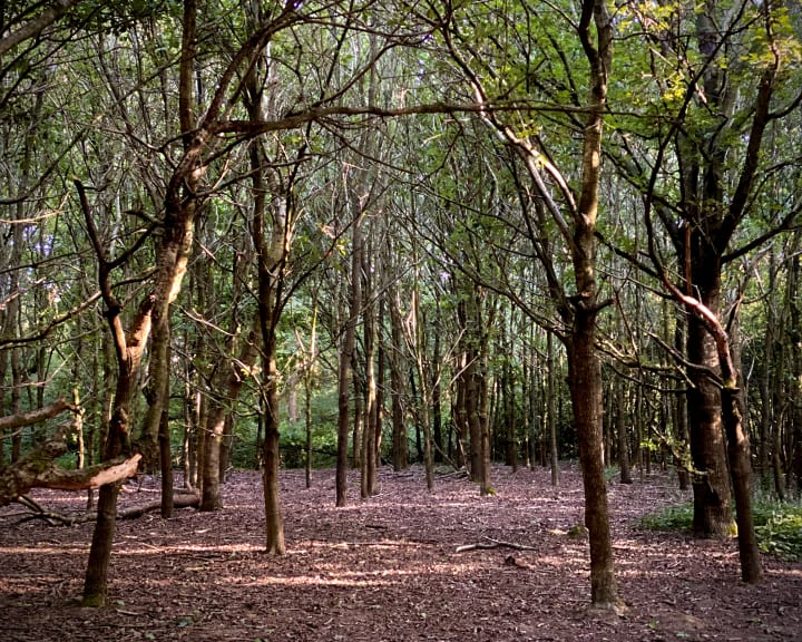 Clearing in a wood of tallish trees with thinish trunks.