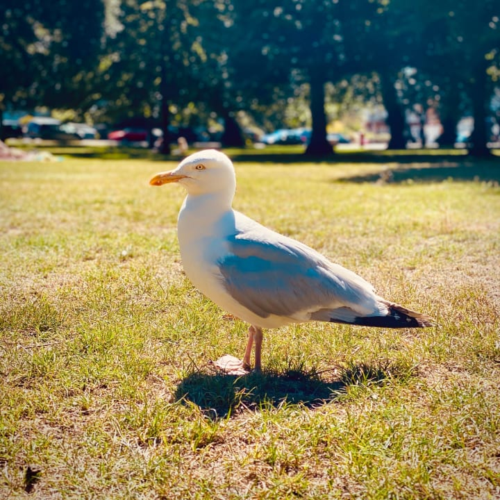 Seagull standing infront me in a park.