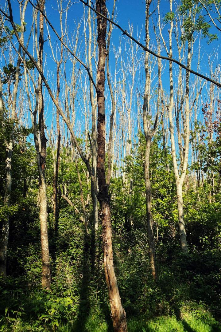 Dense woodland of tall thin bare trees.