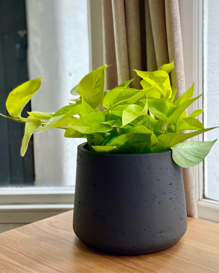 Neon green plant in a dark grey pot sat on a wooden desk.