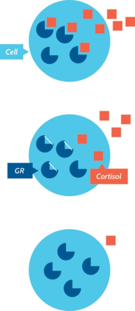 Cortisol Graphic