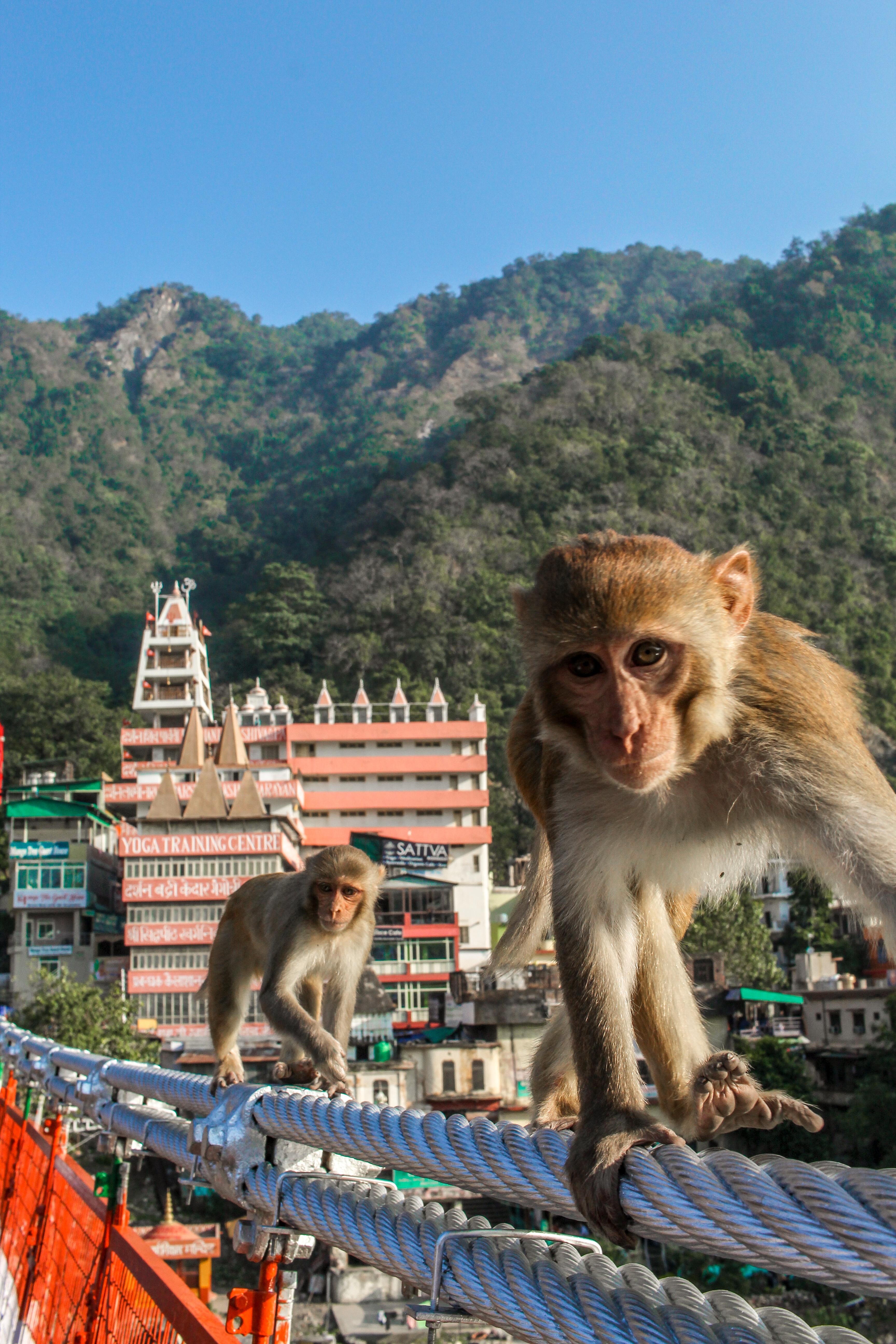 Monkeys of Rishikesh, India