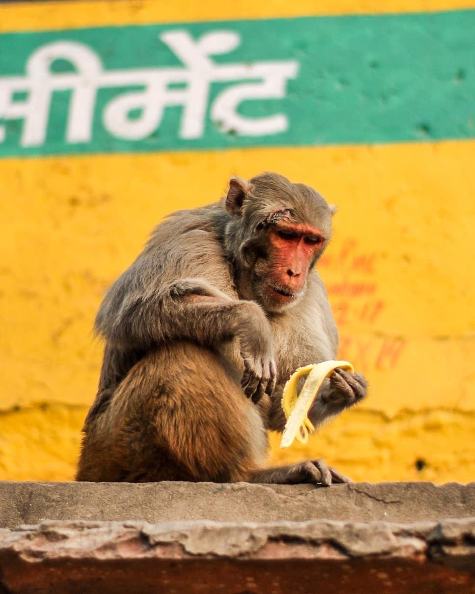 agra monkey, india