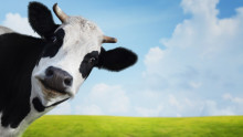 How many cows are there in Canada, asks a leading recruiter