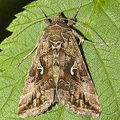 plaga de mariposas gamma