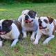 6-American-Bulldog.jpg