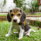 20-Beagle.jpg