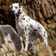 03-Dalmatian.jpg