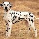 08-Dalmatian.jpg
