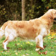 03-Golden-Retriever.jpg