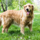 04-Golden-Retriever.jpg