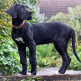 24-Great-Dane.jpg