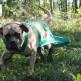 15-English-Mastiff.jpg