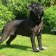 09-Neapolitan-Mastiff.jpg