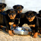 14-Rottweiler.jpg