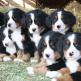 11-Bernese-Mountain-Dog.jpg