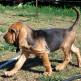 12-Bloodhound.jpg