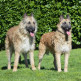 04-Belgian-Shepherd-laekenois.jpg