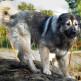 10-Caucasian-Shepherd.jpg
