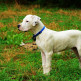 Dogo-argentino-08.jpg