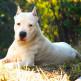 Dogo-argentino-11.jpg