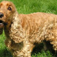 English-Cocker-Spaniel-list.jpg