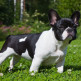 03-French-Bulldog.jpg