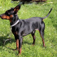 09-Miniature-Pinscher.jpg